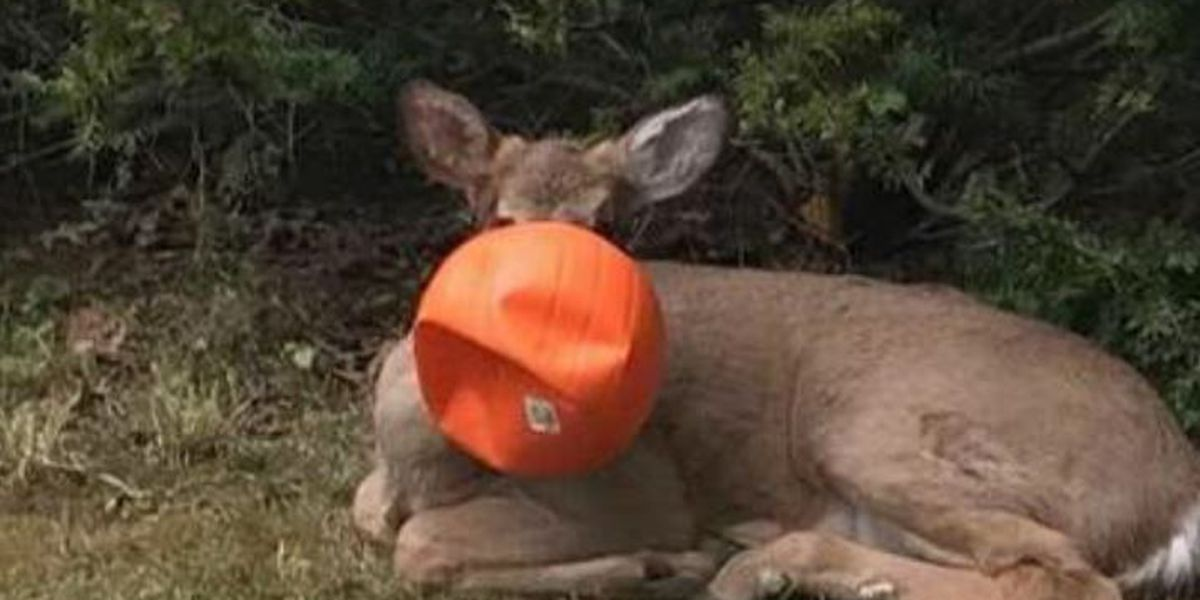Neighbors free deer with plastic Halloween pumpkin stuck on its head