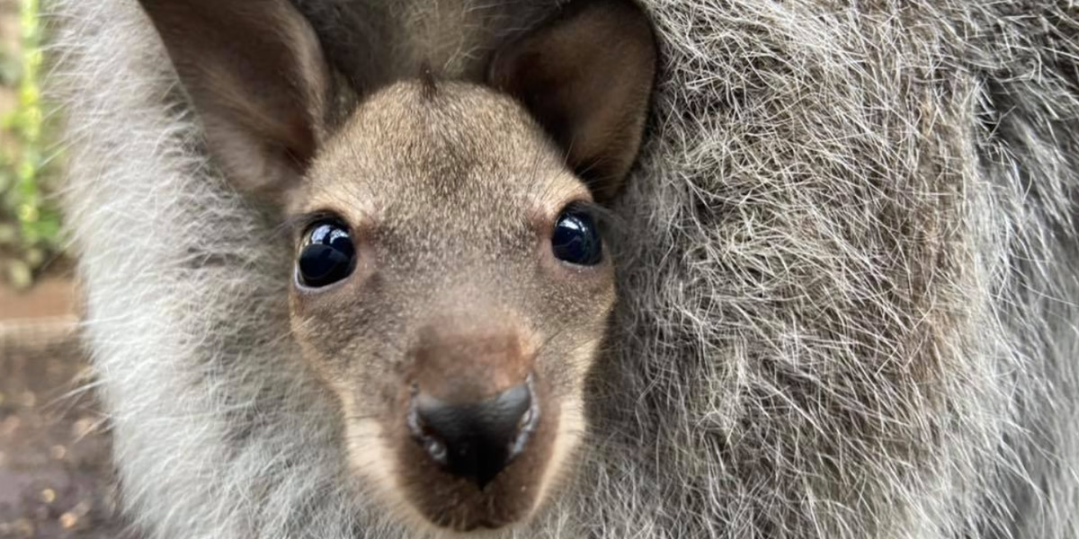 The Cincinnati Zoo's adorable wallaby baby has a name at last