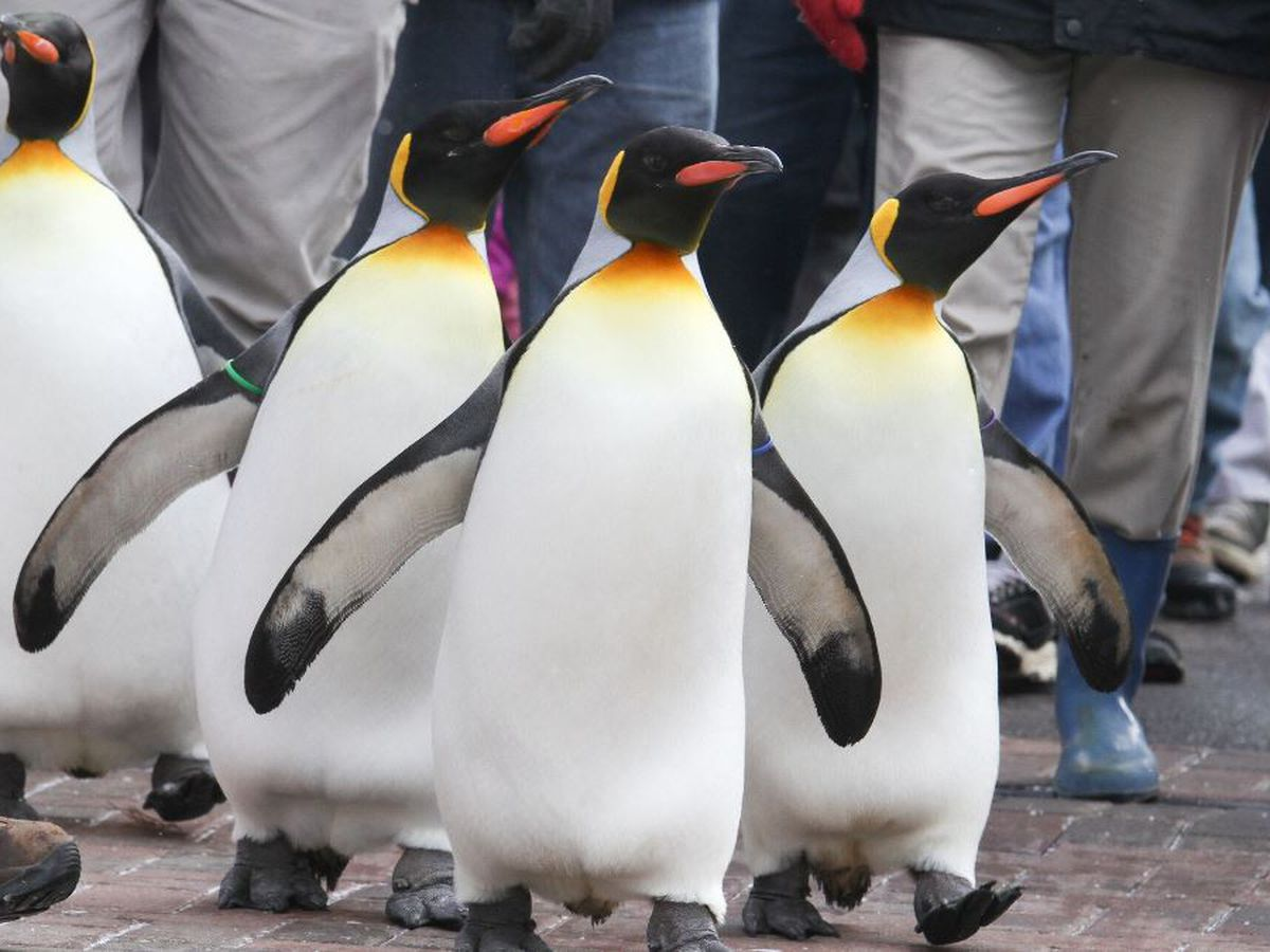 Enjoy discounted Cincinnati Zoo admission for Penguin Days