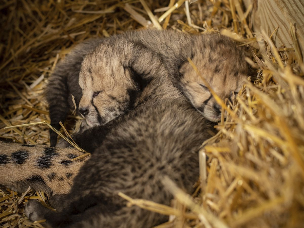 World's first in vitro cheetah cubs born at Ohio zoo