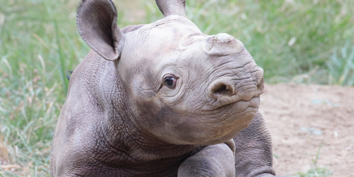 ADORABLE: Baby rhino finds new toy