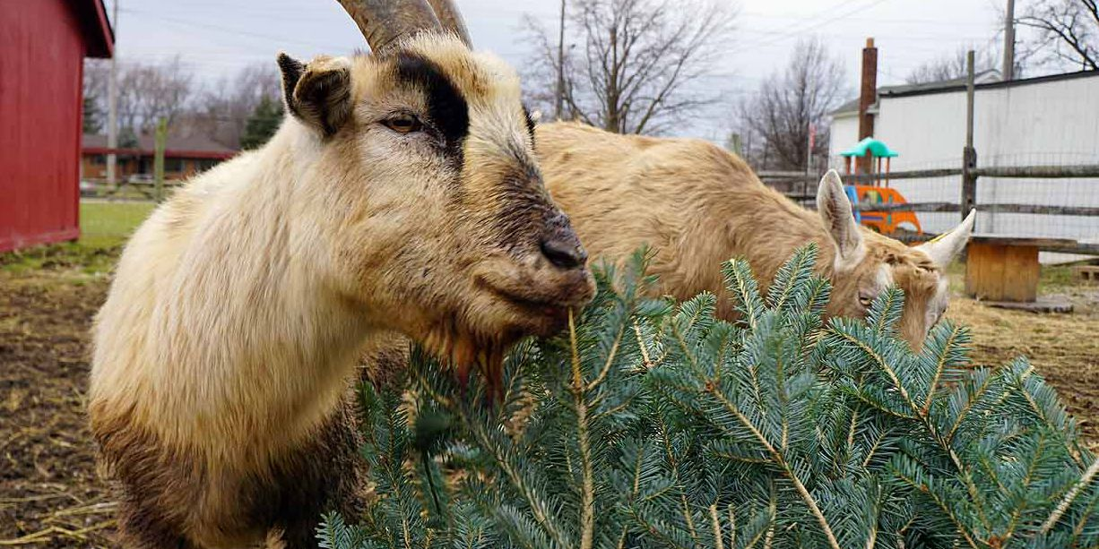 Parma goats will devour your Christmas tree, one gleeful bite at a time