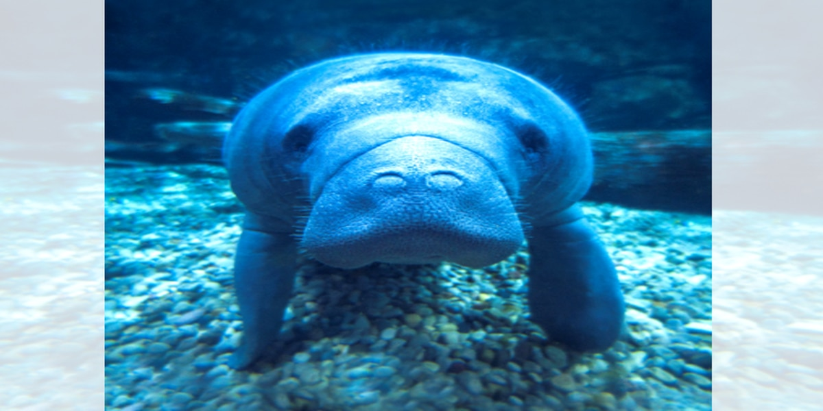 Manatee returns home after rehabbing at Cincinnati Zoo