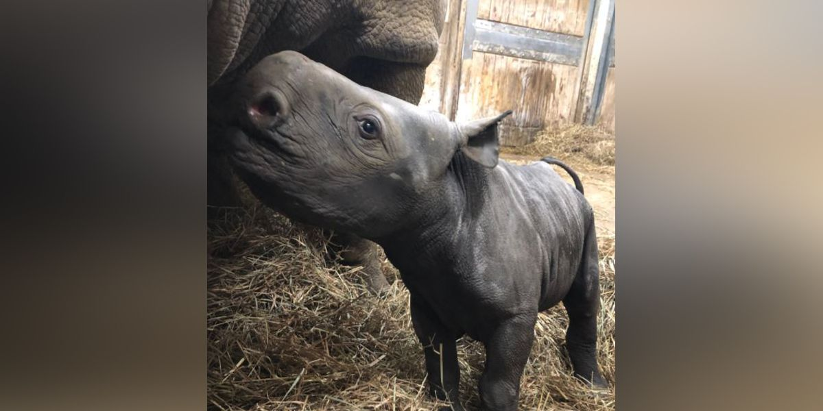 Cincinnati Zoo and Botanical Garden welcomes baby rhino