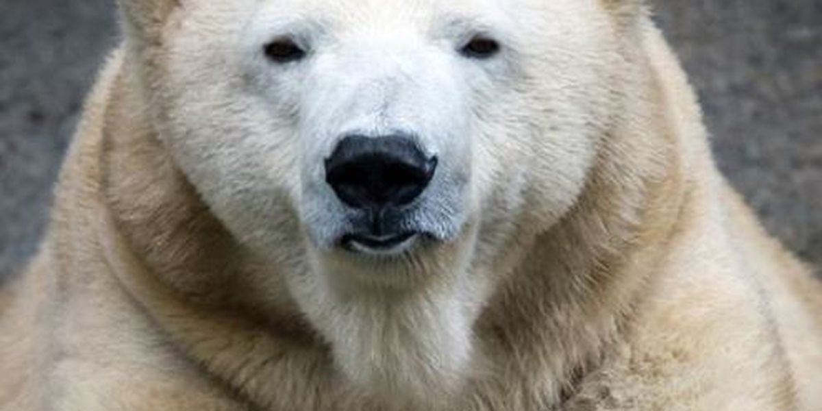 Polar bear Anana to leave Cincinnati Zoo
