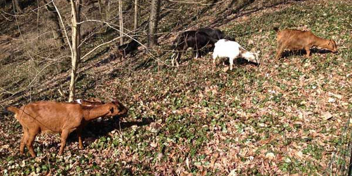 Dog injures goats working at Spring Hill Cemetery