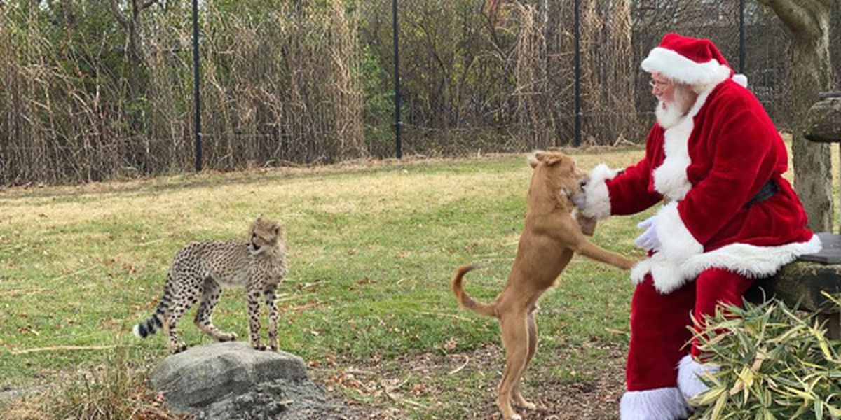 Santa delivers gifts to baby animals at Cincinnati Zoo & Botanical Garden