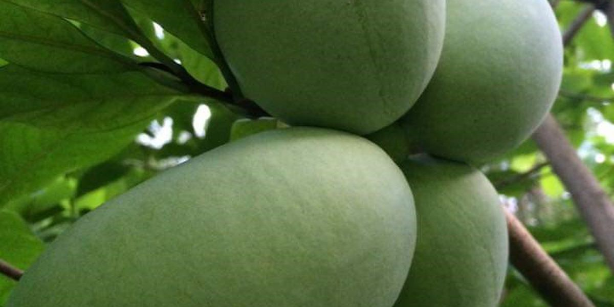 Have you ever eaten a pawpaw? It's Ohio's native fruit and it's in season