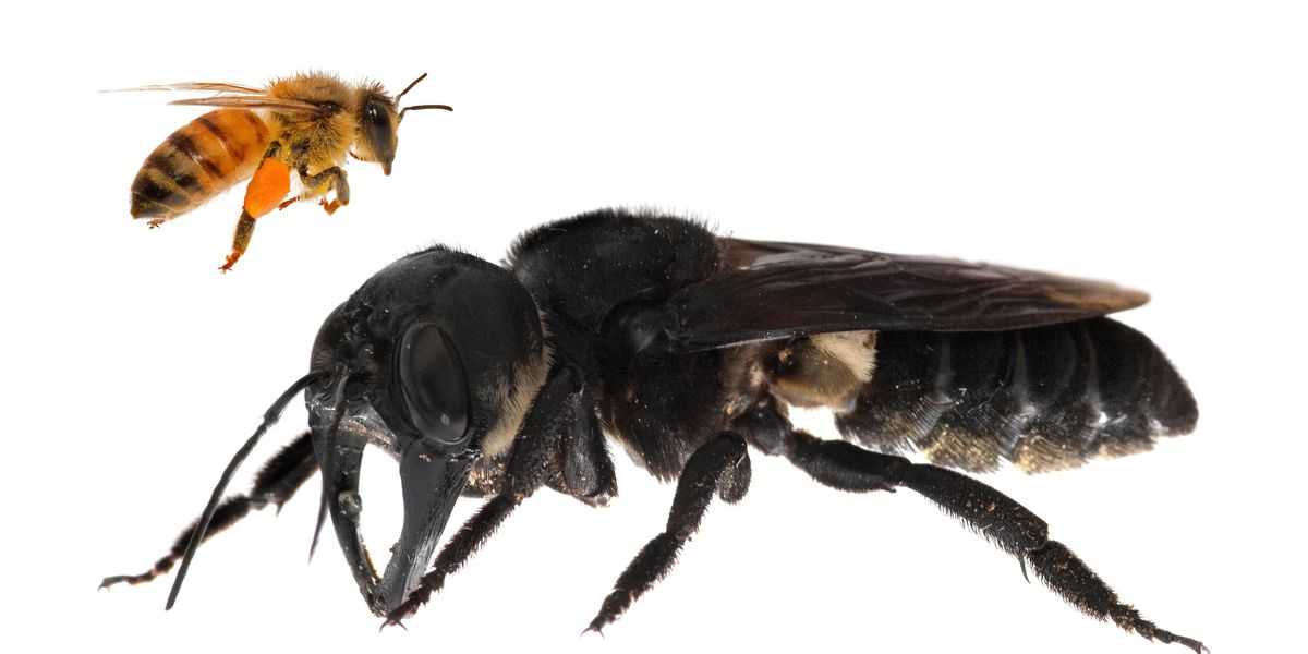 World's biggest bee found: It's as big as your thumb