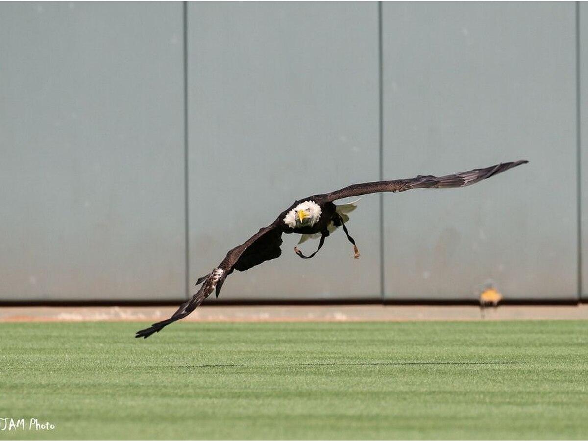 'Sam' the Cincinnati Zoo Bald Eagle returns to action for flyover Saturday