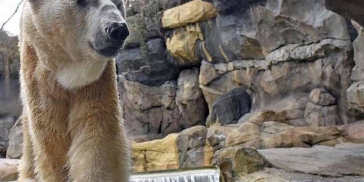 Cincinnati Zoo announced death of male polar bear 'Little One'