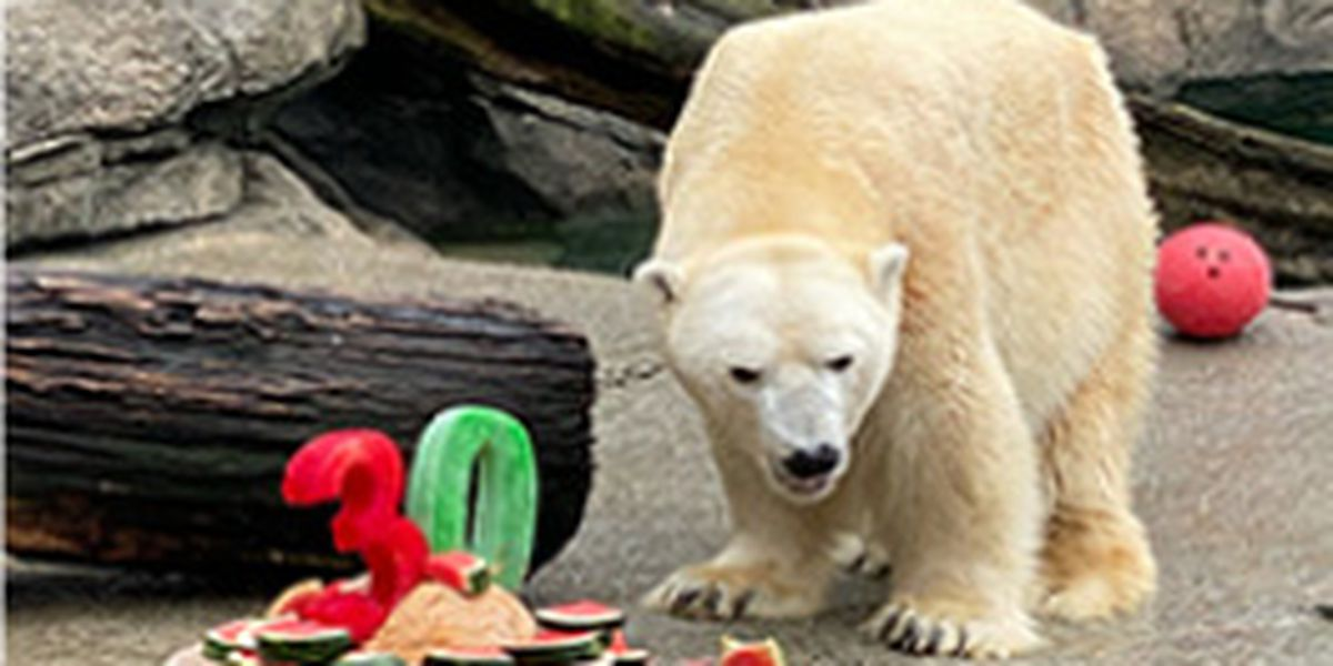 Cincinnati Zoo polar bear turns 30; baby could be on the way