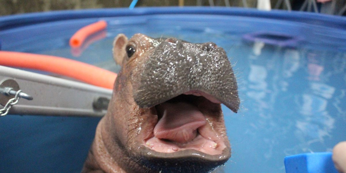 Celebrate Fiona's 4th birthday with a 2021 Cincinnati Zoo calendar