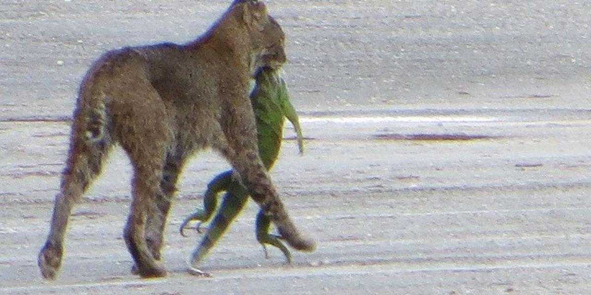 Dining in Florida: Bobcat munches on iguana