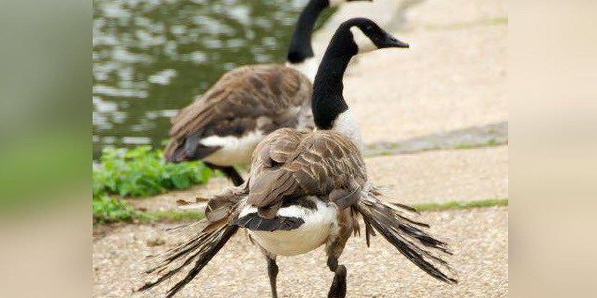 Ky Wildlife Officials Stop Feeding Bread To Ducks And Geese