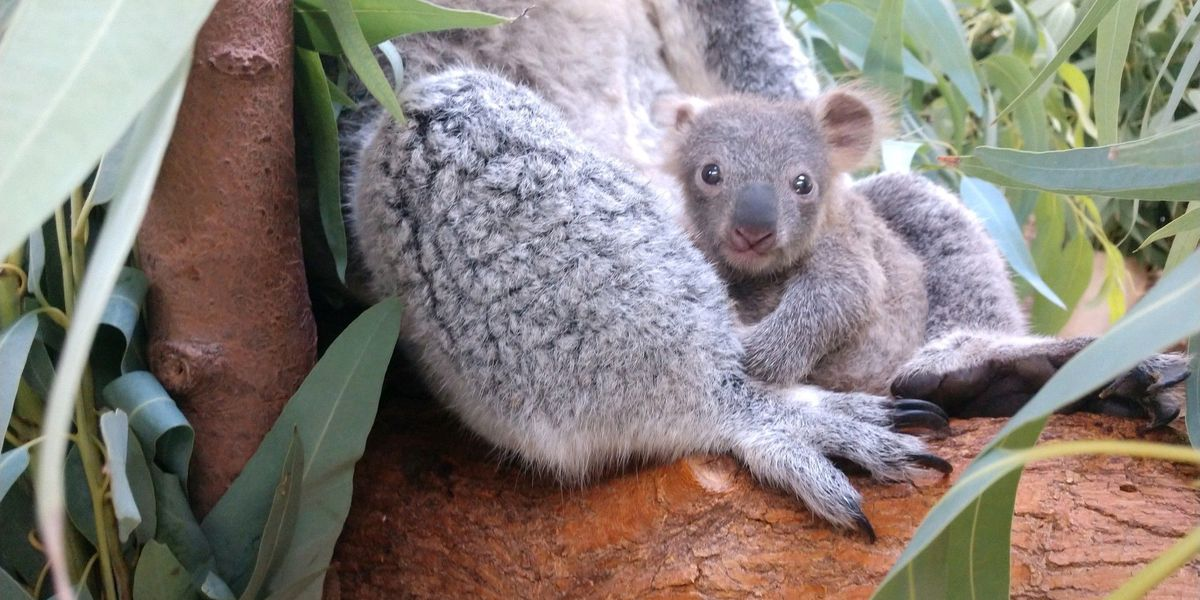 Baby koala born at Cleveland Metroparks Zoo for 1st time in 10 years (photos)
