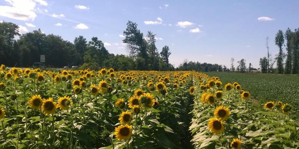 Cedar Point to partner with Prayers From Maria, plant sunflower field next to Sandusky hotel