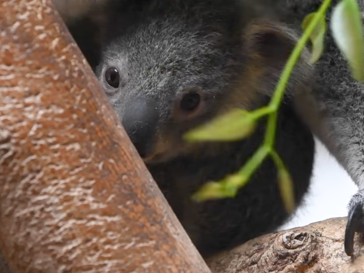 WATCH: Ohio koala baby leaves mother's pouch for the first time