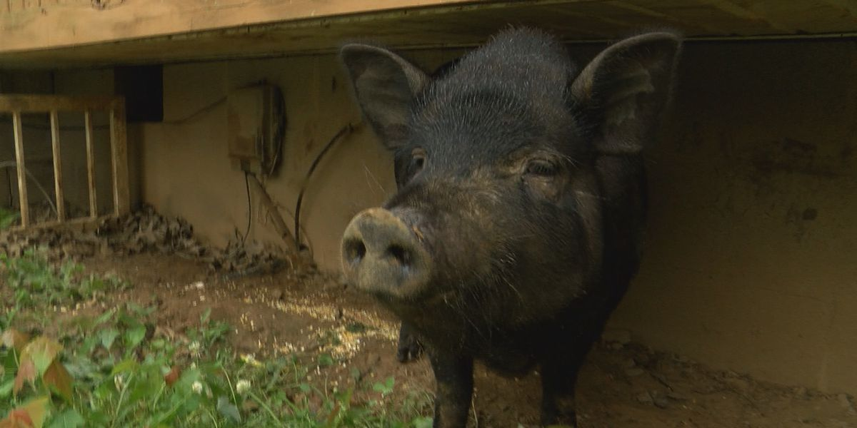 Kentucky community joins search to find suspect of brutal pig beatings