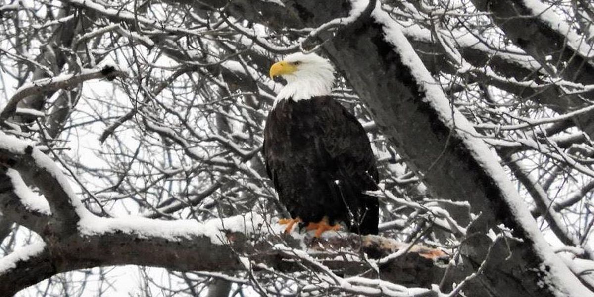 Bald Eagle sightings expected to increase in Ohio with nesting season approaching