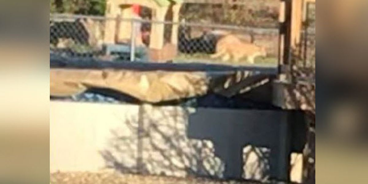 Is this a cougar? Green Twp area residents are trying to figure that out