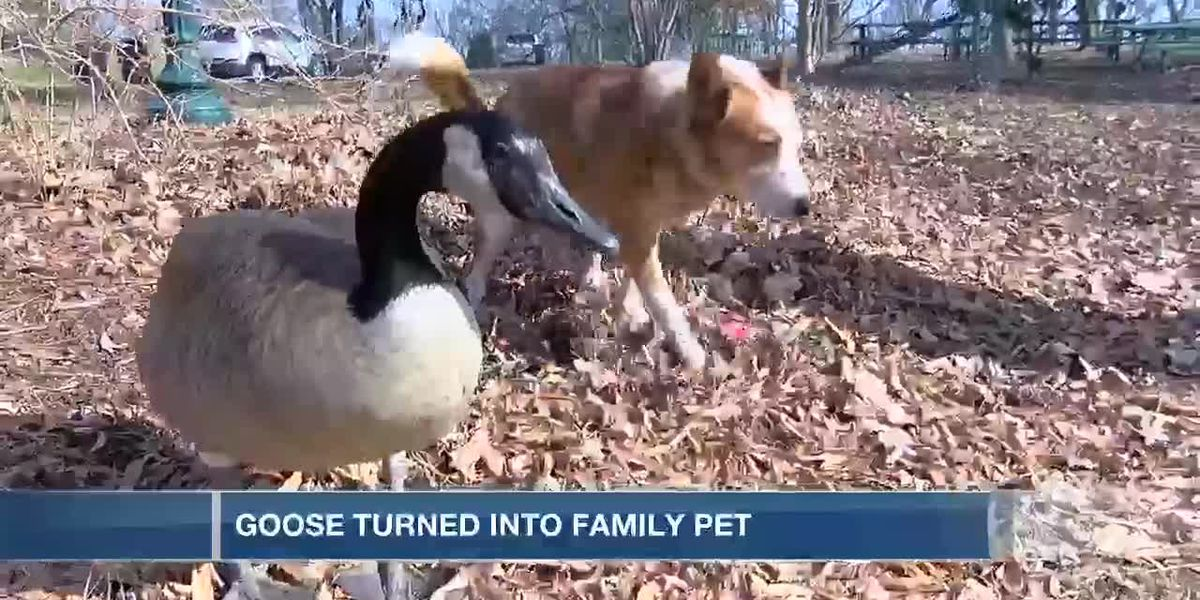 Goose becomes family pet, dog's best friend