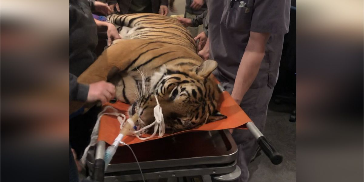 Cincinnati animal hospital helps zoo examine cause of tiger's seizures