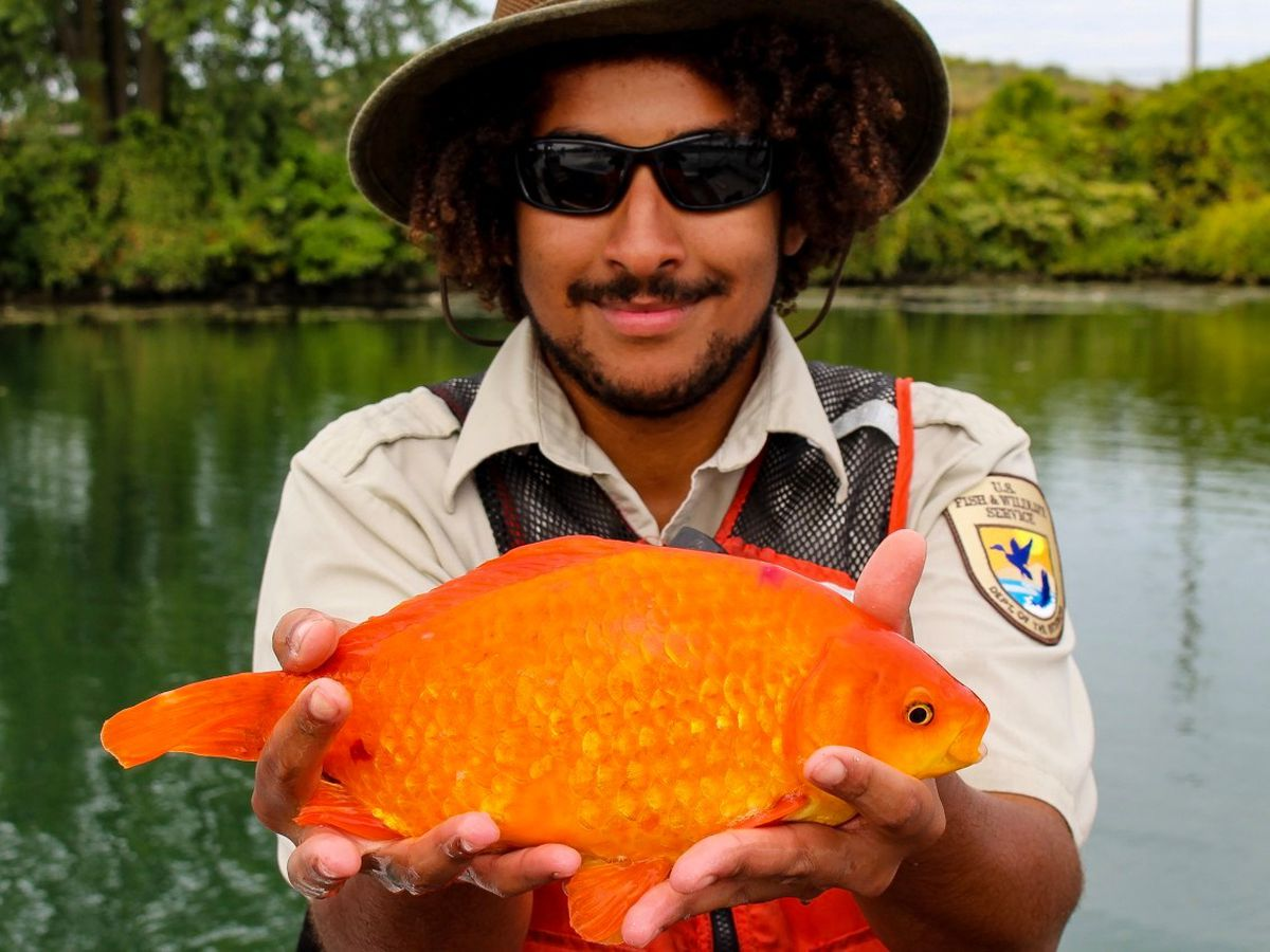 Group reminds owners not to flush pets after 14-inch goldfish found in river flowing from Lake Erie