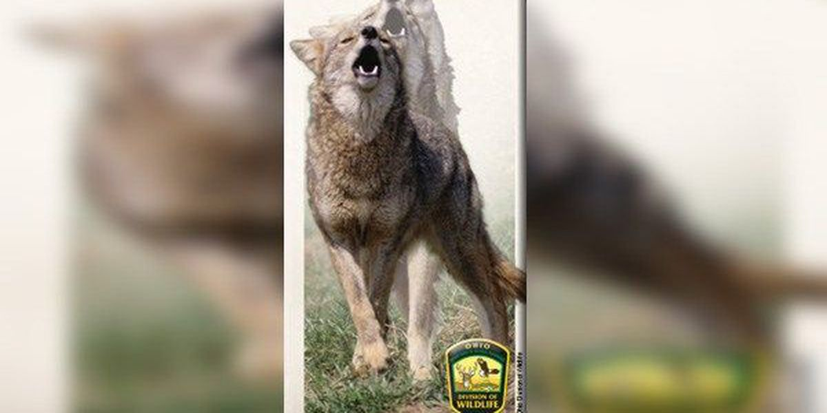 North College Hill police warn of coyotes in the area