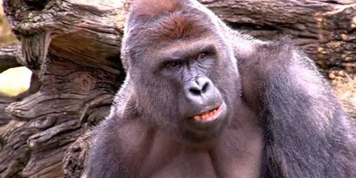 'Harambe Kong' debuting in Boise arcade Tuesday night