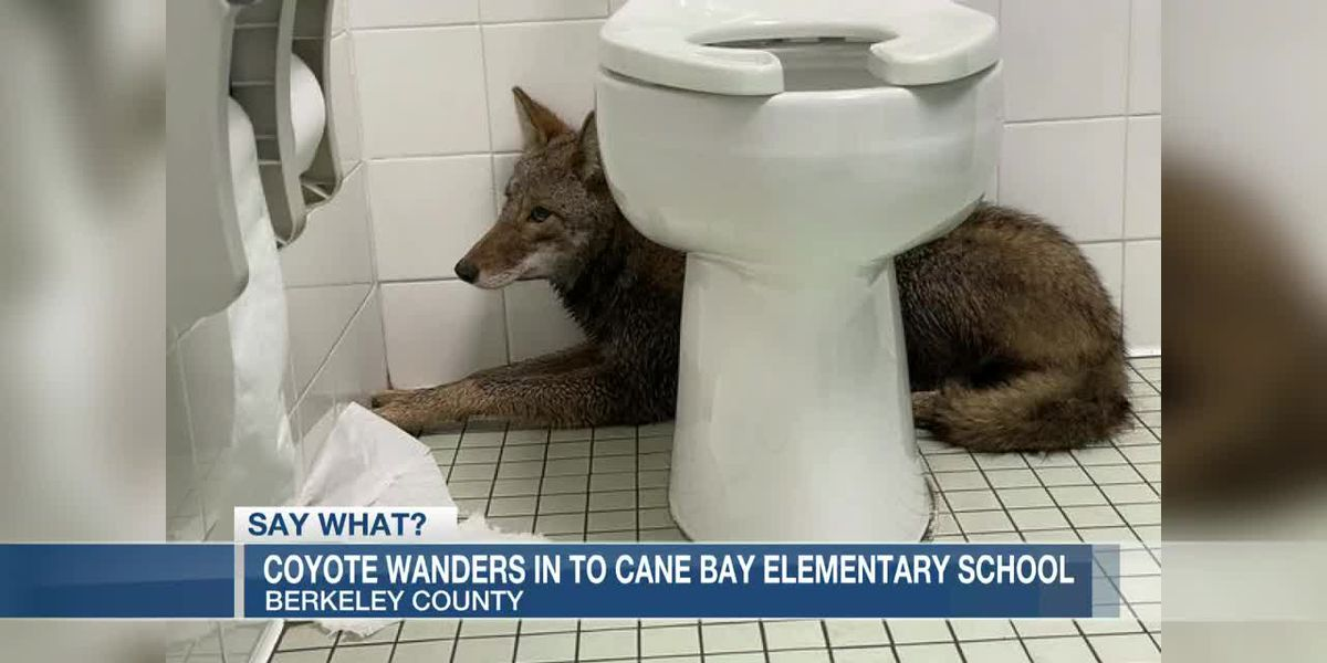VIDEO: Coyote wanders into SC elementary school