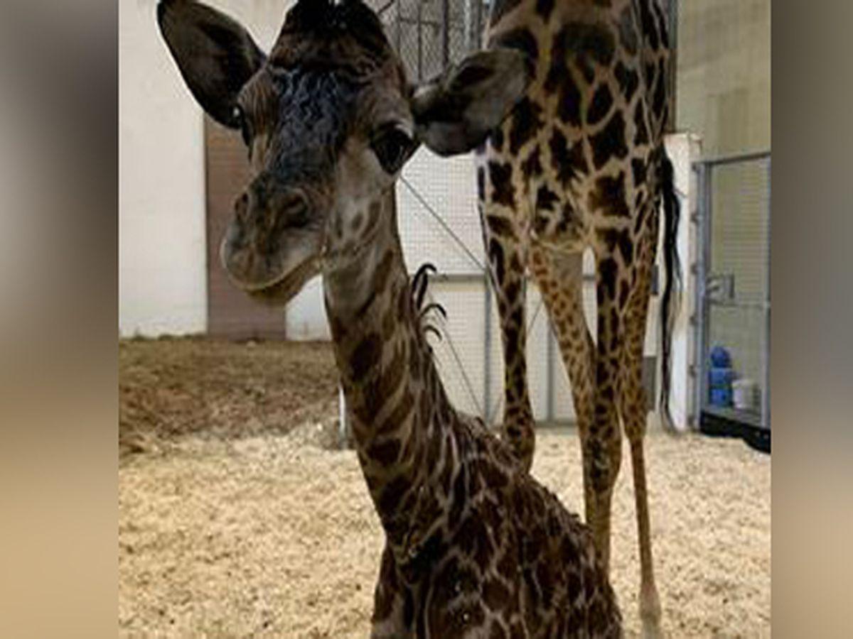 Cincinnati Zoo announces baby giraffe's gender