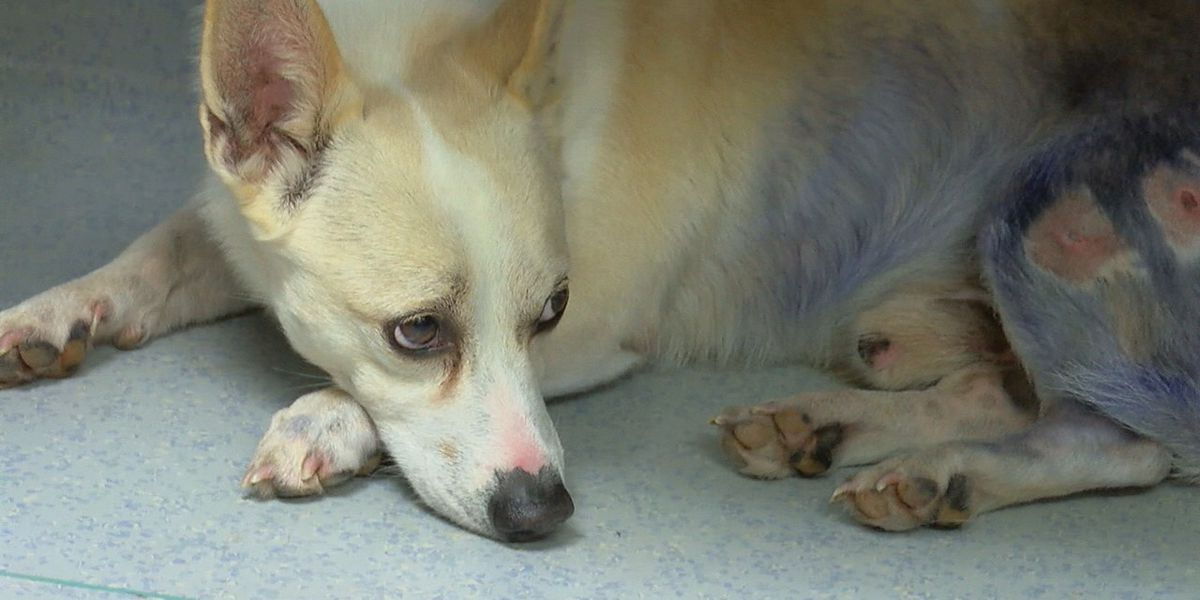 Rescue saves corgi that may have been in dog fighting ring