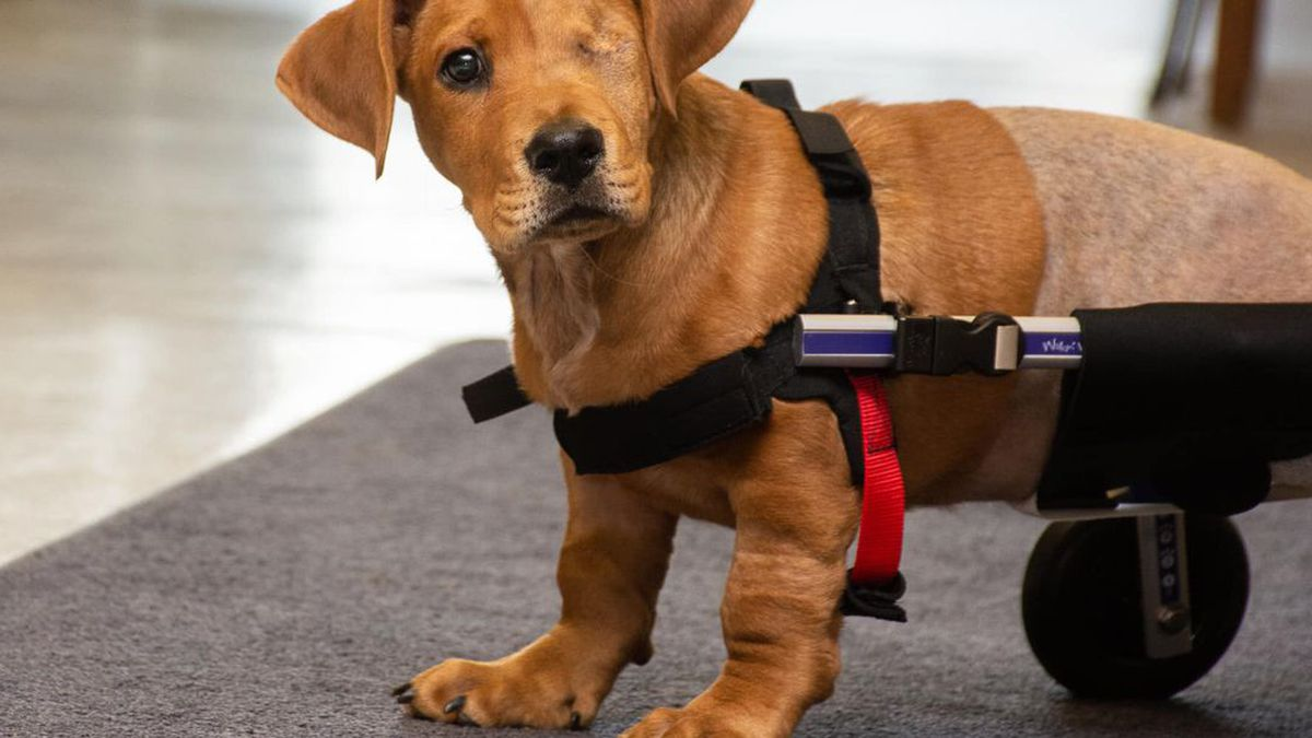 'Miracle' dog Trooper is now making event appearances